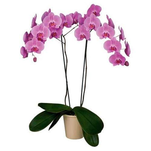 Florclick - Planta Orquídea Phalaenopsis morada natural - Envío gratis en 24 horas