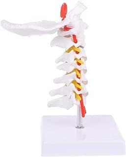 WHER Cervical Vertebra Arteria Spine Spinal Nerves Anatomical Model Life Size