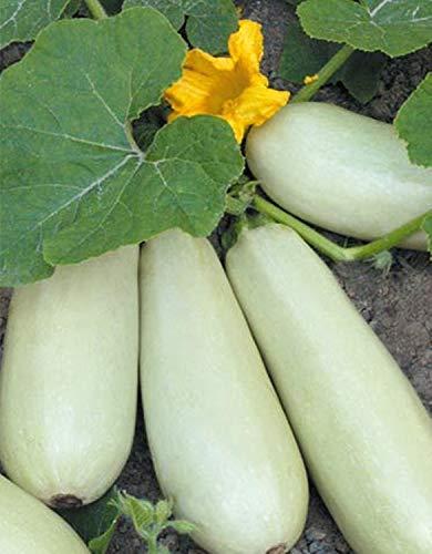 FERRY HOCH KEIMUNG Seeds Nicht NUR Pflanzen: Squash - Zucchini Rolik Samen Russisch, Non-GMO Organisch gewachsen