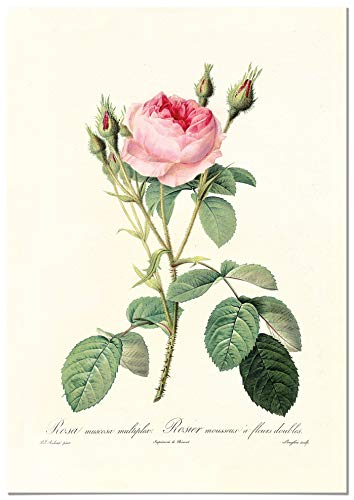 Panorama Póster Rosa Rosa Vintage 21x30cm - Impreso en Papel 250gr - Láminas Hojas Verdes - Láminas para Enmarcar - Cuadros Decoración Salón - Cuadros Botánica - Cuadros de Plantas