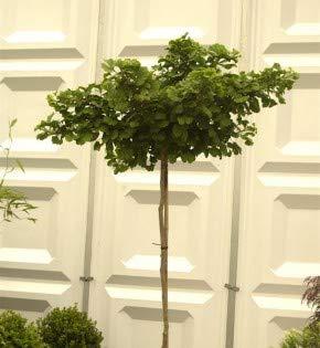 Hochstamm Kugel Fächerblattbaum 30-40cm - Ginkgo biloba