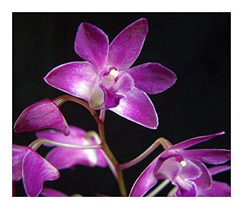 Dendrobium kingianum - roche rose orchidée – 100 graines