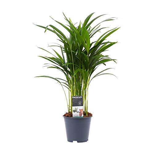 Dypsis lutescens | Areca Palme | Goldfruchtpalme | Höhe 55-65 cm | Topf-Ø 14 cm
