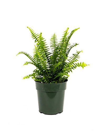 American Plant Exchange Fern Kimberly Queen Live Plant, 6' Pot,...