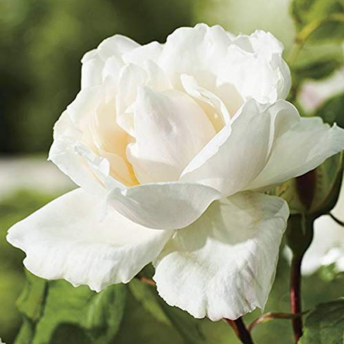 Madame Alfred Carriere White Climbing Rose 5.5L Pot 15cm - 60cm Plant