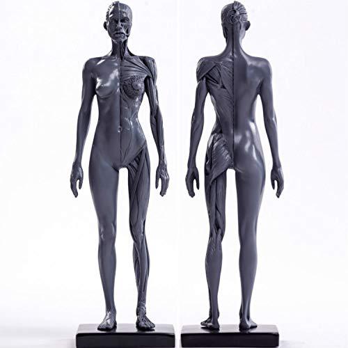 Sculpture Statuette Menschliches Skelett Anatomische Malerei Modell Für Anatomische Anatomie Skull Skulptur Kopf Körper Muskel Künstler Zeichnen (Grau Frauen) Statue Artwork Für Wohnzimmer Tisc