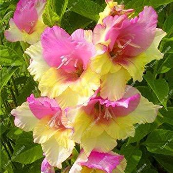 Virtue 2Pcs Gladiolus Zwiebeln, Gladiole Blume (nicht Gladiolen Samen) Schöne Blumenzwiebeln symbolisiert Nostalgie, Hausgarten Pflanze Bonsai 20