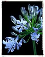 リコリス 球根,生態環境を改善し、そよ風がそよそよと吹いて来て,香りが庭いっぱいに漂っている,ヒガンバナの花は傘が湾曲した美しい弧を描き、人に非常にエレガントな感覚を与えます,植えやすいユニークな形ラブリーバイタリティリリースパーティーマジカル-15球根,A