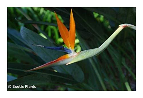 Strelitzia reginae MandelasGold - oiseau de paradis - 2 graines