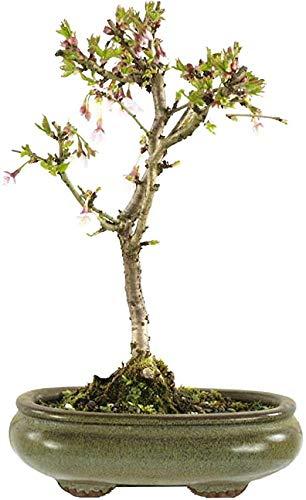 Bonsái Cerezo Prunus Incisa Kojo No Mai Bonsái 8 años Cerezo Florido en Temporada