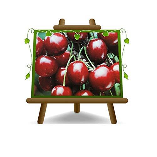 cerise doux Sweet Heart - plante de fruits porte-greffe franc sur pot de 20 - arbre max 170 cm - 2 ans