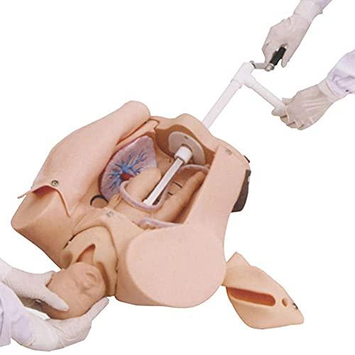 HUAQINEI Modelo de Parto de Pelvis Femenina, Modelo de partería avanzado, simulador de Parto Elikliv para enseñanza de ginecología, educación y Estudio de fertilidad médica