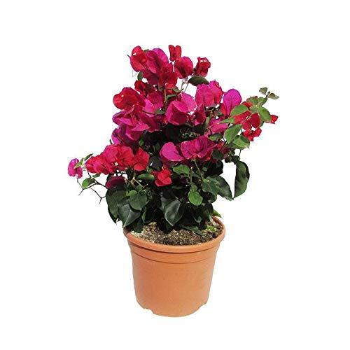 Buganvilla Planta Natural con Flor Rosa en Maceta de 15cm Bougainvillea Bugambilia