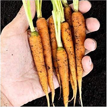 Packung mit 800 Samen, Möhrensamen (Daucus carota)