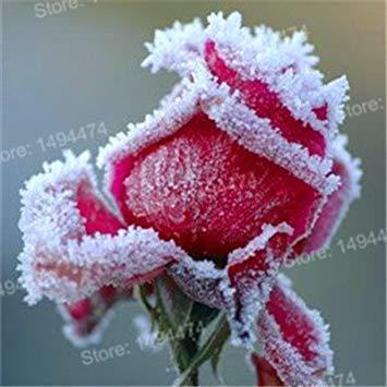 Vistaric 200 pcs Rare Mixte Couleur Rose Graines arc en ciel rose graines Plante vivace fleurs bonsaï pot Maison Jardin Décoration Fleur graines Jaune