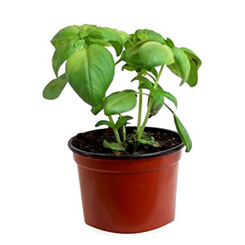 Albahaca (Maceta 13 cm Ø) - Planta viva - Planta aromatica