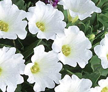 Chilenische Glockenblume-White-50 Samen Bodendecker Blumen