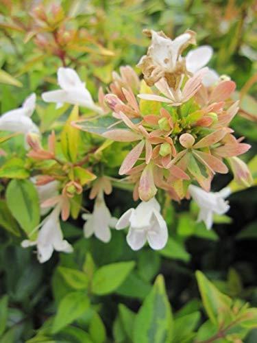 Abelia grandiflora Kaleidoscope - Großblumige Abelie