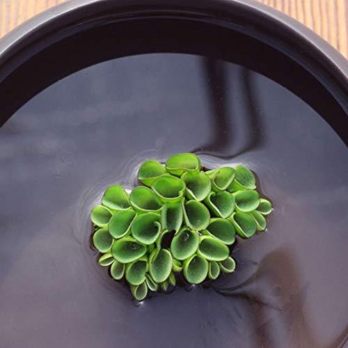XQxiqi689sy 100 Pz/Borsa Semi Di Piante Idrofite Decorazione Fai Da Te Giardino Verde Primo Piano Acquario Semi Di Piante Acquatiche Semi di piante acquatiche E