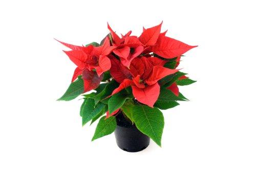 Planta de Navidad - Flor...