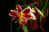 Bulbos De Lirio, Flores De Colores, Bulbos, Plantas De Decoración Del Hogar, Balcones De Jardín, / Encantadora / Fuerte / Patio / Mágico /-2- bulbos,Rojo