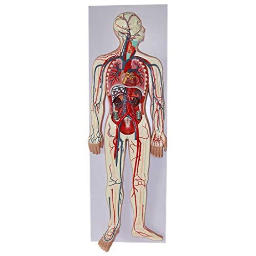 Modelo Educativo Modelo del Sistema Circulatorio Sanguíneo