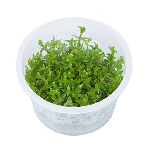 Tropica Gratiola Viscidula 1–2-grow Tissue Culture in Vitro Live Plante pour aquarium sans danger pour les crevettes et Escargot gratuit