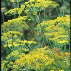 Suffolk herbes g?n?rations Lot???Dill???Dukat???Semences Graveolens