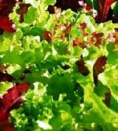 LETTUCE - MIXED SALAD LEAVES - 500 SEEDS