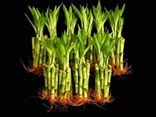 100 Pieces of 6 Inches Straight Lucky Bamboo