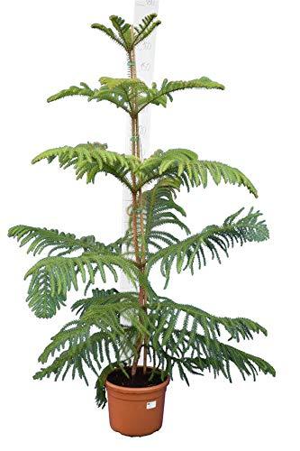 Norfolk Tanne - Zimmertanne - Araucaria Heterophylla - 130-150 cm Topf Ø 28cm