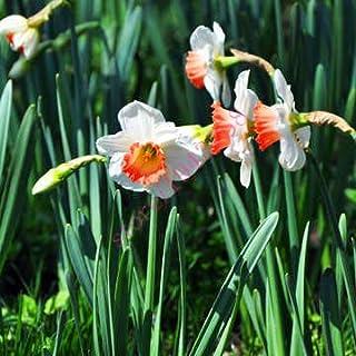 AGROBITS semillas 100pcs narciso (no bulbos de narcisos), semillas de flor del narciso plantas acuáticas, flor perenne para las mini plantas de jardín: 7