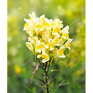 Wildflower - Common Toadflax - 1000 Seeds