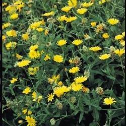 Suffolk herbes g?n?rations Lot???Pot Marigold???Calendula officinalis