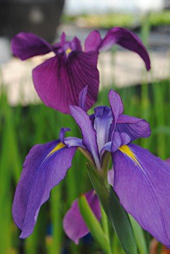 WFW wasserflora Japanische Sumpf-Schwertlilie/Iris kaempferi blau im 9x9 cm Topf