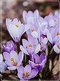 Krokus Zwiebeln,Magisch, Menschen Glücklich Machen,Leuchtende Farben,Gärten-10 Zwiebeln