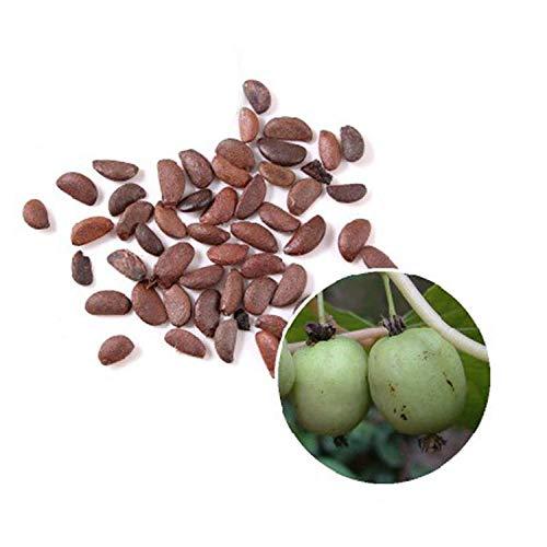 Xincai Junqianzi Seeds 300 weiche Jujube-Samen