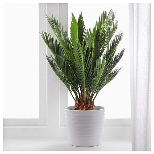 Portal Cool 10pcs Sacré Sago Cycas Palmier Cycas Revoluta Graines de Bonsai Plantes