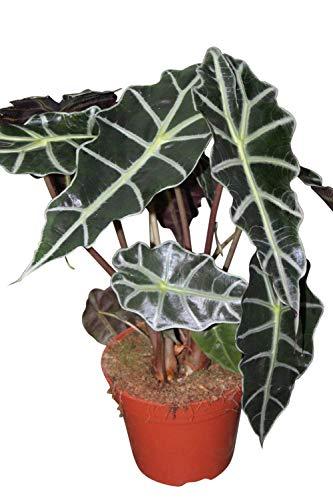 Zimmerpflanze für Heim oder Büro - Alocasia amazonica - Pfeilblatt- ca. 30 cm hoch