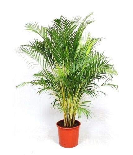 TricaStore _ Dypsis Lutescens, Areca Palm Golden Cane Palms Ornamental Plant - 25 Counted (Home & Garden)