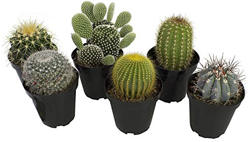 Altman Plants Assorted Live Cactus Collection large real cacti for planters or gifts, 3.5 Inch,6 Pack