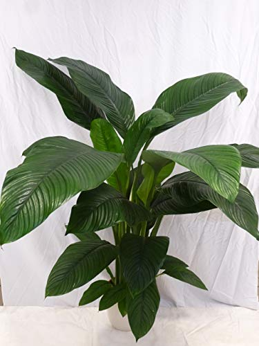 """[Palmenlager] - XXL Spathiphyllum\""""Sensation\"""" - Einblatt mit Blüte ca. 140 cm/Zimmerpflanze"""