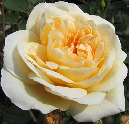 Sweet Memories - 5.5lt Potted Patio Garden Rose Bush - Yellow/Lemon, Repeat Flowring Blooms - Memorial Gift