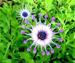 50seeds / sac bleu Daisy plantes vivaces graines de fleurs exotiques sac Bubble ornemental maison bonsaï organique