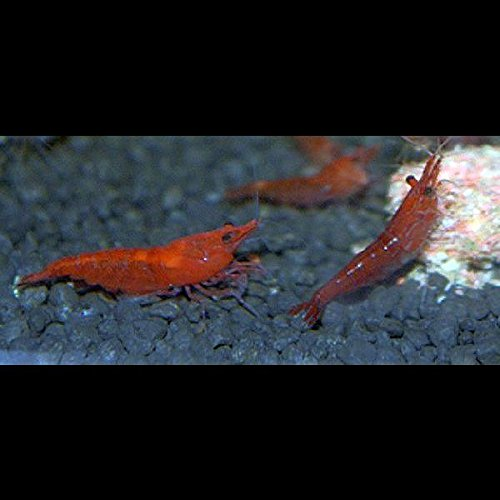Zierfischtreff.de Red Cherry BZW. Red Fire Garnelen, 10 Stück + 5 Mooskugeln gratis 2-4 cm