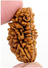Maa Padma Farms Natural 1 One Faced Rudraksha Bead/ 1 Ek Mukhi Original Rudraksha Bead/Lab Tasted Original Rudraksha Beads(1 Face) - The Himalayan Products (5)