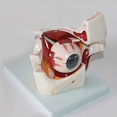 LBYLYH Modelo anatómico del Ojo Humano Sehnerv Estructura de la Estructura de Iris Horny Modelo 3X Anatomía