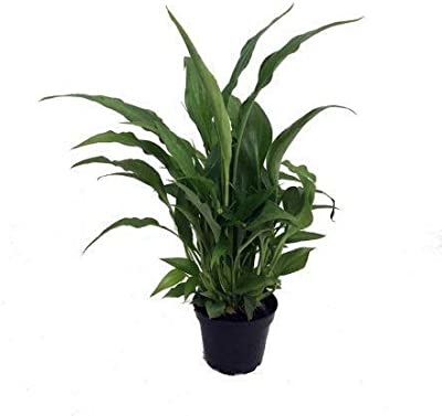 The Store HubPeace Lily with Pot Hardy Live Indoor Plants NASA Natural Home Air Purifier Decorative Good Luck Green