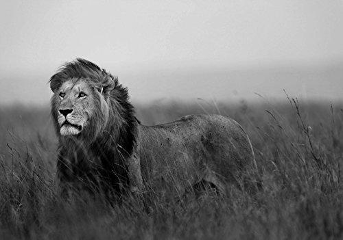 Welt-der-träume | papier peint intissé 130 g/m² | Lion | | 11760 _ Ve-aw | Lion Animal Nature Africa Cat papier peint, noir/blanc, VEXXL (312cm. x 219cm.)