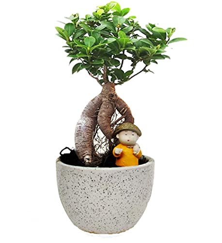 Bonsai Live Plants Abana Homes Ginseng Grafted Ficus Bonsai with Ceramic Pot for Home/Office Decor (4 Years Old)